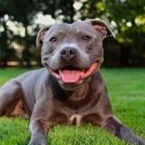 Elle achète un chien Staffie : le vétérinaire fait une découverte choquante et la police est appelée