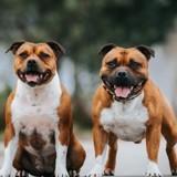 Une étude sur les chiens Staffordshire Bull Terrier révèle quelque chose que tout le monde ne veut pas savoir