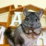 Bimba, l'adorable chinchilla qui charme la Toile