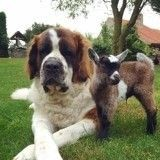 Deux adorables Saint-Bernard deviennent les parents adoptifs d'une petite chèvre orpheline