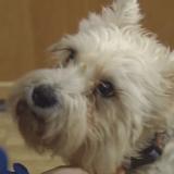 Un chien s'enfuit pour rejoindre sa maîtresse dans un hôpital où il n'était jamais allé