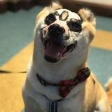 Il survit miraculeusement à un incendie, ce Shiba Inu devient chien de thérapie auprès des grands brûlés