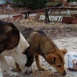 Qu'est-il arrivé aux chiens après la catastrophe de Tchernobyl ? La vérité est plus triste que dans la série