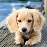 Ces 15 chiens croisés Teckel sont les plus beaux et vont vous faire craquer