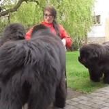 Trois gigantesques Terre-Neuve entourent une femme : ce qui se passe donne la chair de poule