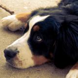 Des chiens de thérapie prêtent patte forte aux familles en deuil