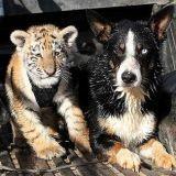 Un chien de troupeau… pour des tigres ! (Vidéo du jour)