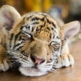 Ils achètent un chat Savannah pour 6000€ : c'était en fait un tigre !
