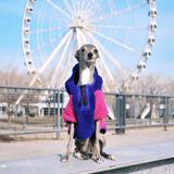 Tika The Iggy, le lévrier italien qui fait le buzz sur les réseaux sociaux. Un chien heureux ?
