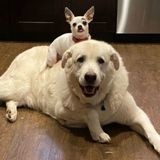 Son Chihuahua grimpe sur le dos de son immense Patou : ce que fait le grand chien surprend tous les passants !