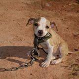 Libéré des combats de chiens, un chiot devient le symbole de la lutte contre la maltraitance