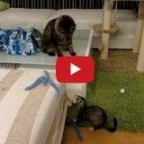 L'étonnante amitié entre ce chat et ce furet va vous faire fondre ! (Vidéo du jour)
