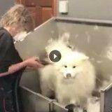 Une pluie de poils de chien tombe sur ce salon de toilettage ! (Vidéo)
