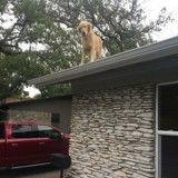 Le passe-temps préféré de ce chien ? Monter sur le toit !