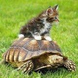 Étonnant : 11 chats qui ont créé de belles amitiés avec des tortues !