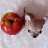 Toudi le Chihuahua est-il le plus petit chien du monde ?