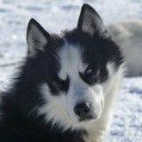 Les 20 plus belles photos de chiens de traîneau