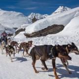 Les Championnats du Monde de chiens de traineaux démarrent fin janvier