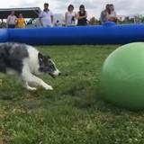 Treiball : un sport pour jouer au foot avec votre chien