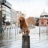 Sauvé de l'abandon, ce chien «lion» est le roi de la ville !