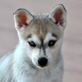 Alaskan Klee Kaï : tout savoir sur cette race de chien
