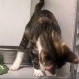 Ce chaton qui twerke à cause d'un trouble neurologique fait craquer la Toile (Vidéo)