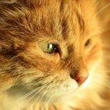 Typhus du chat: Quels sont les symptômes et les traitements