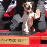 """Uggie le chien de """"The Artist"""", marque le boulevard d'Hollywood !"""