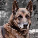 Ugo, le chien héros des sapeurs-pompiers est décédé
