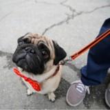 A Jinan, en Chine, les propriétaires de chiens ont leur permis à points
