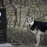 Ses maîtres sont morts dans un accident de voiture, ce chien vit sur leur tombe depuis 15 ans