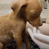 Il découvre un minuscule Chihuahua en souffrance, mais le vétérinaire révèle que ce n'est pas un Chihuahua