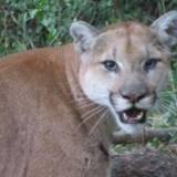En pleine randonnée, un cougar bondit sur un enfant : son Border Collie n'hésite pas une seule seconde !