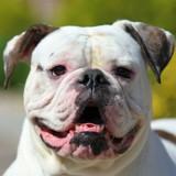Bouledogue américain : tout savoir sur cette race de chien