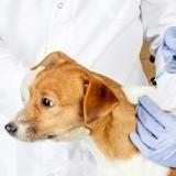 Le vaccin contre la leishmaniose chez le chien : pourquoi et pour qui ?