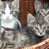Tout savoir sur les premiers vaccins de son chaton