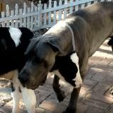 Elevé par un chien, cet adorable veau se prend pour un Dogue allemand