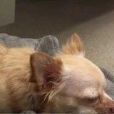 Quand une adorable poule veille sur le sommeil d'un chihuahua à deux pattes (Vidéo du jour)