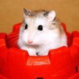 Un artiste dédie des chansons aux hamsters