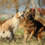 Stérilisation et conflit chez le chien