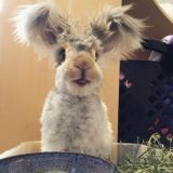 Voici Wally, le lapin peluche aux grandes oreilles star du Web