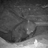 Ils installent une caméra pour filmer des wombats, en visionnant la vidéo ils ont une grosse surprise