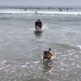 Le saviez-vous ? Les chiens aussi ont leur championnat de surf ! (Vidéo du jour)