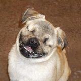 Aveugle, un adorable Carlin devient un chien de thérapie