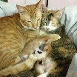 Sur le point de devenir papa, ce chat soutient sa partenaire en train de mettre bas