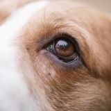 Mon chien a les yeux qui coulent : causes et traitement