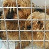 Dans un élevage illégal, 15 Yorkshires dormaient dans des casseroles