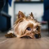 Panique en vacances : le chien accourt, gémit et se met à enfler de façon spectaculaire devant ses maitres