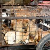 Festival de Yulin : le massacre des chiens et chats pour leur viande aura bien lieu