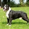 Tout ce qu'il faut savoir sur les chiens de catégorie 1 et 2 : obligations, démarches et témoignage (Vidéo)